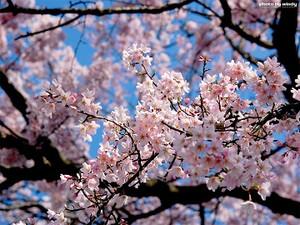 Sakura081024_3